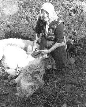 Woman shearing sheep
